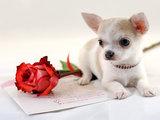 Diamond Painting pakket - Chihuahua met roos