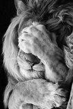 Diamond Painting pakket - Leeuw met poot voor zijn ogen 40x60 cm (full)_