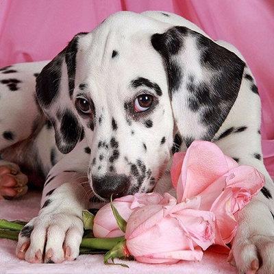 Diamond Painting pakket - Dalmatierpup met roze rozen 40x40 cm (full)