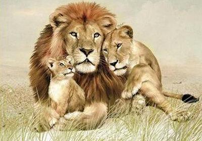 Diamond Painting pakket - Leeuwenfamilie 50x35 cm (full)