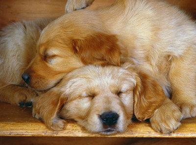Diamond Painting pakket - Slapende Golden Retriever hondjes pups 30X38 cm (full)
