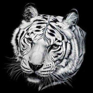 Bengaalse tijger 40x40