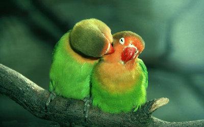 Diamond Painting pakket - 2 knuffelende love birds groene papegaaien 40x25 cm
