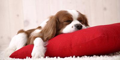 Hondje slapend op kussen 60x30 cm