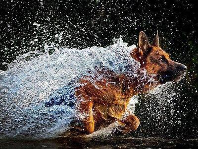 Duitse herder springt uit het water 40x30 cm