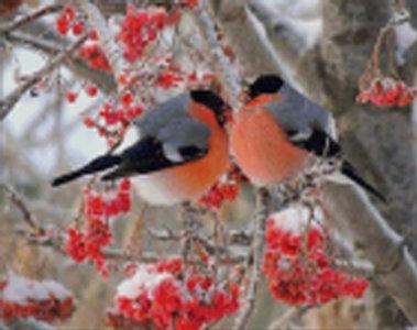 Diamond Painting pakket - Knuffelende roodborstjes vogeltjes op een tak 38x48 cm