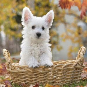 Wit hondje in mand 30x30 cm