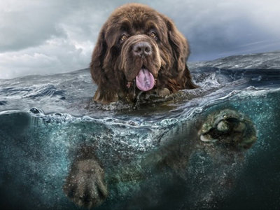 Zwemmende New Founlander hond in het water 30x40 cm