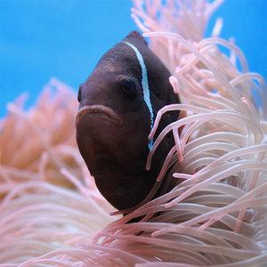 Diamond Painting pakket - Zwarte vis in het koraal 30x30 cm (full)